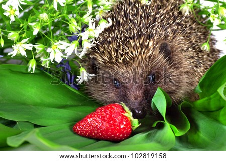 small hedgehog, wild flowers and ripe strawberry