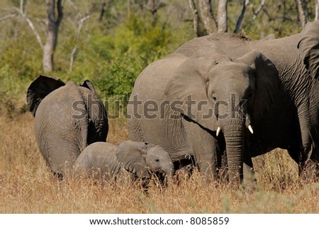 Small herd of African elephants (Loxodonta africana), Kruger National Park, South Africa