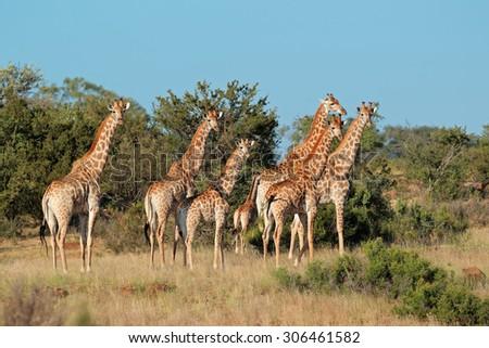 Small herd of giraffes (Giraffa camelopardalis) in natural habitat, South Africa
