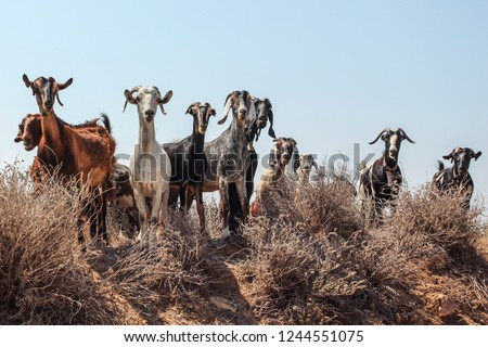 Small herd of goats standing on little hill, looking into camera as if they're about to charge, clear sky in background.