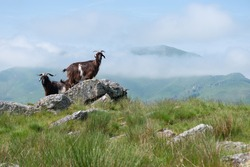 Small herd of Pyrenean goats in the Pyrenees mountains, farmed dairy ruminants to produce organic French cheese
