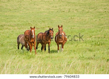 Small herd of ranch horses on green prairie pasture in summer