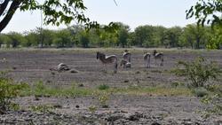 Small herd of striped plains zebras (equus quagga, formerly equus burchellii, also common zebra) resting in midday heat in Kalahari desert, Etosha National Park, Namibia, Africa.