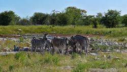 Small herd of striped plains zebras (equus quagga, formerly equus burchellii, also common zebra) gathering near a waterhole in midday sun in Kalahari desert, Etosha National Park, Namibia, Africa.