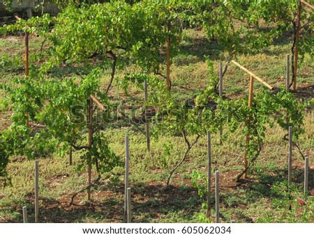 Small Backyard Vineyard metal fence with barbed wire. fortification, secured property
