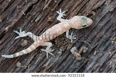 Small house gecko on brown wood