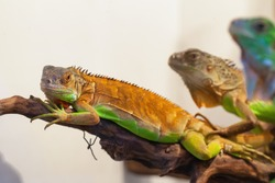 Small iguana with green skin close up