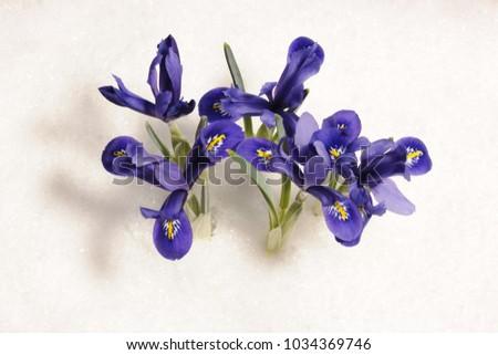 small irises on the snow