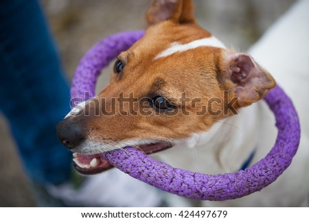 Small Jack Russell puppy playing with toy outdoors. Cute small domestic dog, good friend for a family and kids. Friendly and playful canine breed #424497679
