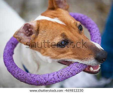 Small Jack Russell puppy playing with toy outdoors. Cute small domestic dog, good friend for a family and kids. Friendly and playful canine breed #469812230