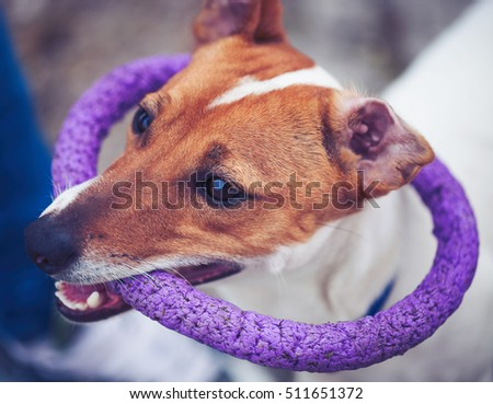 Small Jack Russell puppy playing with toy outdoors. Cute small domestic dog, good friend for a family and kids. Friendly and playful canine breed #511651372