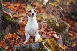 Small Jack Russell terrier dog sitting on autumn moss covered stone, shallow depth of field photo with bokeh blurred red leaves in background