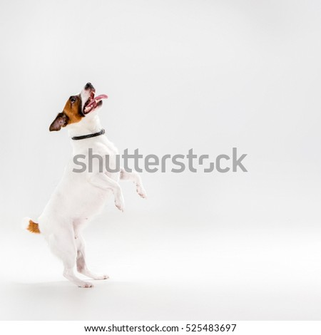 Shutterstock Small Jack Russell Terrier playing on white background