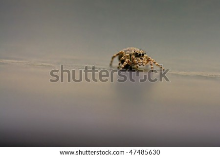 Small jumper spider - stock photo