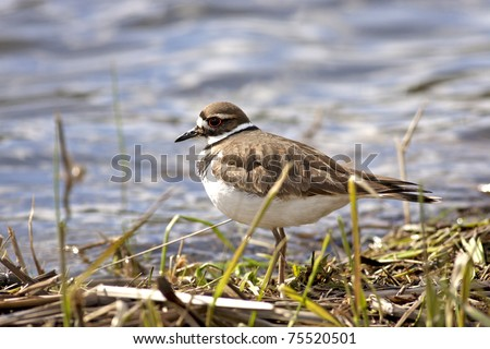 Small killdeer bird wandering by the shore line.