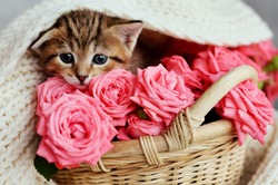 Small  kitten in the basket with pink roses. Cat and flowers. Funny animals.  Valentine's and women's day