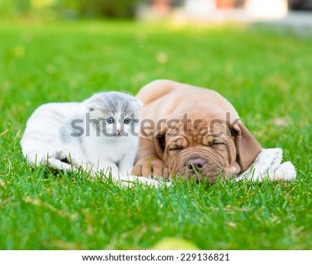 small kitten near sleeping Bordeaux puppy dog