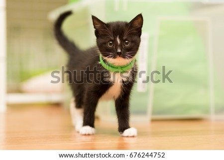 small kitten of black color with a white breast and a green collar of fleas stands on the floor