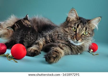 Small  kitten with mother cat among Christmas stuff . Studio shot.