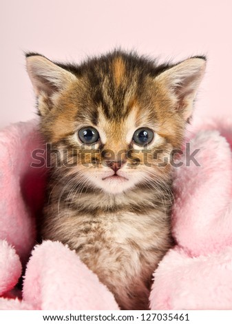 Small kitten wrapped in pink banket with pink background