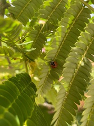 Small ladybug sitting on a silk tree leaf, green natural background on a sunny spring day