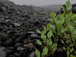 Small leaves plant or bush in a cold and foggy morning. Soil and rocks are volcanic