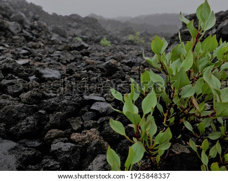 Small leaves plant or bush in a cold and foggy morning. Soil and rocks are volcanic Photo stock ©