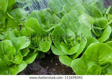 Small lettuce plants with drops of water and water spray from a watering can with some visible wet soil.