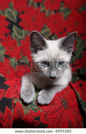 Small, lilac point Siamese kitten on red poinsettia tapestry chair.  Vertical.