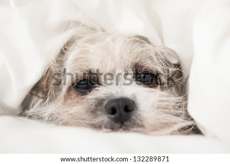 Small little dog puppy covered in white clean bed sheet