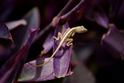 Small lizard about to jump from purple plant.