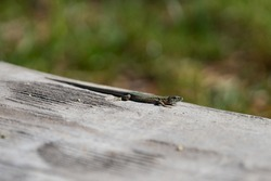 SMALL LIZARD FROM BARCELONA SPAIN