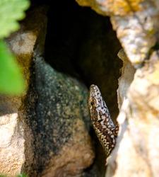 Small lizard hiding inside a crack in the rock.