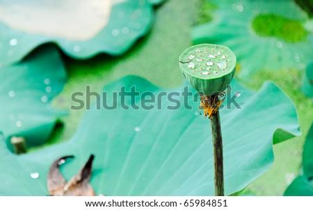 Small lotus pod