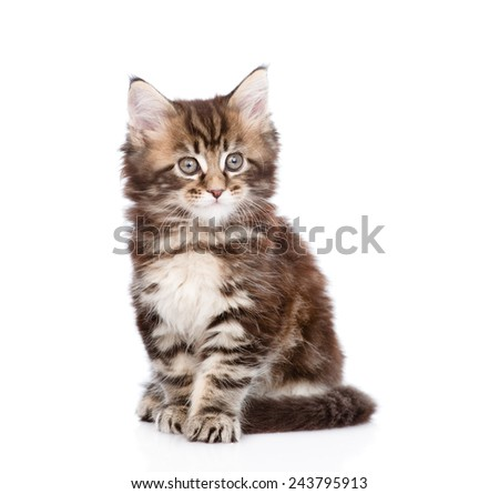 small maine coon cat sitting in front. isolated on white background - Shutterstock ID 243795913