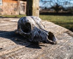 Small mammal skull. Dead goat or a sheep. Skeleton head of small animal. Mammel head - dry. Old skull on wooden table , pole. Sunny weather. Farm life. traditional way of living. Pets
