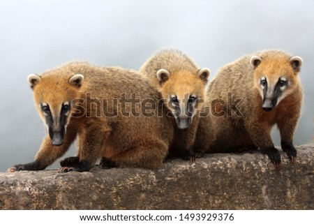 small mammals coatis standing on a rock