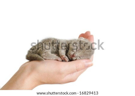Small mauve kitty sleeping on woman's palm. 3 days from birth