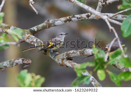 Small Minivet-This Small Minivet is a widespread and common resident breeding bird in Sundarban.