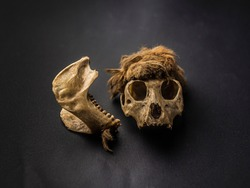 Small monkey cranium (skull) with brown hair on dark black background.