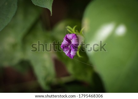 Photo of  Small morning glory tucking in its delicate peddles from the morning sun.