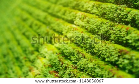Small moss planted a small tree on a stone wall or ladder moss's green background. The background usually grows in thick green clumps or mats. depth of field of mosses Stock fotó ©