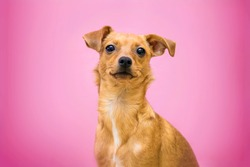 small mutt dog in pink background. isolated.