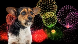 Small nervous dog afraid of loud Fourth of July fireworks display