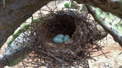 small nest with three blue green eggs made of dry grass and built on a prickly pear cactus