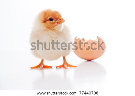 Small, newborn fluffy chick, stepping for the first time in the world, isolated on white with his hatching in background