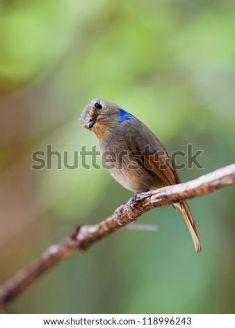 Small Niltava (Niltava macgrigoriae), she sits on the vine, Thailand