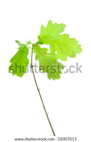 Small oak on white ground