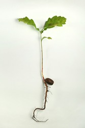 Small Oak tree springing into life from a seed.