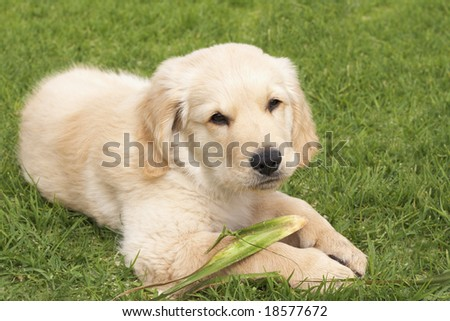 Small obedient golden retriever puppy lying on the green grass holding a plant in his paws